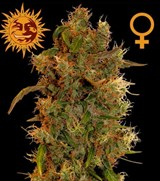 8 Ball Kush – Barney's Farm