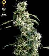 Green House Arjans Ultra Haze 2#