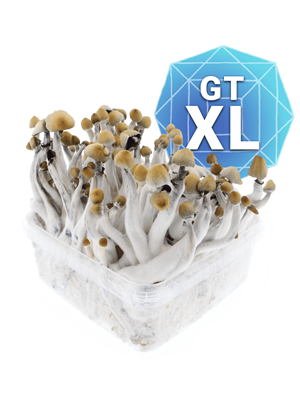 Golden Teacher Kit De Cultivo - Xl