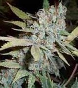 Serious Seeds Bubble Gum