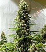 Serious Seeds White Russian