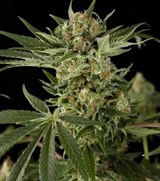 Dinafem Feminized Critical +