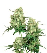 Sensi Seeds Maple Leaf Indica