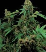 Dinafem Feminized Moby Dick
