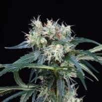 Finest Medicinal Seeds Nl5 Haze